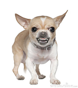 chihuahua arrabbiato
