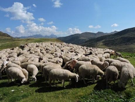 pecore anatolia 2