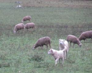 pecore della anatolia